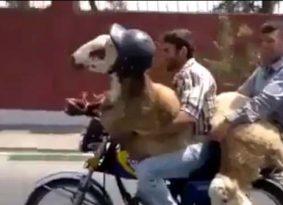 קוקוריקו: שני גברים ושתי עזים יצאו לטיול על אופנוע. רגע מה?